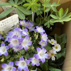 プリムラくらいしか咲いてない/ビオラをチョッキん/お花の苗を買ってみた/久しぶり/みなさんの花の便りに誘われて/お花/... 今日のお花☆  みなさんの花の便りに誘わ…(1枚目)