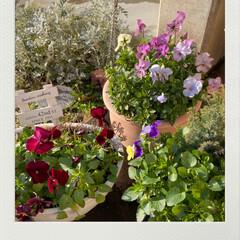 寄せ植え/植物/癒し/玄関/ビオラが元気♪♪♪/今日のお花たち/... 今日のお花たち☆  暖かくなってきてビオ…