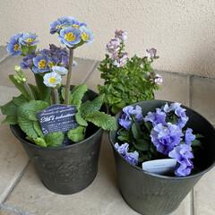 ネメシア/フリルビオラ/プリムラ/植えてあげたい/明日は晴れ/昨日手に入れた/... お花たち☆  昨日手に入れたお花たち♪♪…(1枚目)