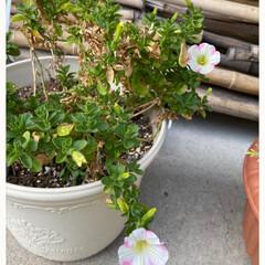 玄関/寄せ植え/植物/オステオスペルマム/ももいろハート/サフィニアアート/... 冬越ししたコたち☆  冬越ししたコが咲き…