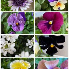 寄せ植え/最近暖かくて元気/自宅/久々/お花たち/今日 今日のお花たち☆  久々にわが家のお花た…