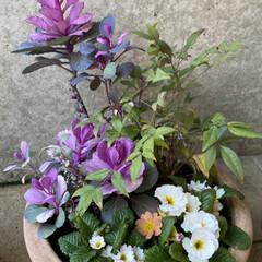 ビオラ78円!!!/白いおじさんも連れて来た/ラナンキュラス198円!!/春のお花たちをたくさん仕入れた/プリムラを添えて/お正月用の植物を仕立て直した/... 今日のお花たち☆  お正月用の植物の仕立…(1枚目)