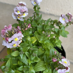 ネメシア/フリルビオラ/プリムラ/植えてあげたい/明日は晴れ/昨日手に入れた/... お花たち☆  昨日手に入れたお花たち♪♪…(4枚目)