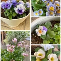 3色なのかも?!/2色だと思っていたプリムラ/お花たち/今日/ライフスタイル/暮らし/... 今日のお花たち☆  今日のお花たちです♪…(1枚目)