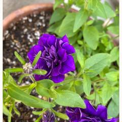 八重ペチュニア/宿根バーベナ/ガーデニング/癒し/ビオラが何とかまだ頑張って咲いている/朝から水やり頑張った/... 今日のお花たち☆  今日は暑くなるという…(4枚目)