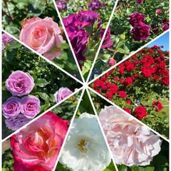 玄関/ステキな1日/斑入りキンギョソウ/花屋さん/今年はバラもお迎え/今年も姉と/... お花たち〜☆  公園のバラ祭りに行って来…