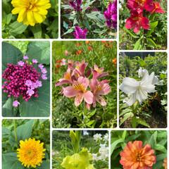 すでにアツイ/しばらく晴れて暑そう/お花たち/実家/真ん中と右上/今日のお花はアルストロメリア 今日のお花はアルストロメリア☆  真ん中…