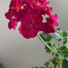 癒し/彩やか/部屋の中/実家/ゼラニウム ゼラニウム☆  実家の部屋で咲いているゼ…
