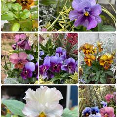 雨に濡れる葉牡丹/姉上のビオラ&パンジー/実家/お花たち/今日 今日のお花たち☆  実家のお花たちです♪…