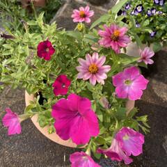 ガーデニング/寄せ植え/玄関/お日様をあびて彩やか/お花たち/自宅 自宅のお花たち☆  お日様をあびて彩やか…