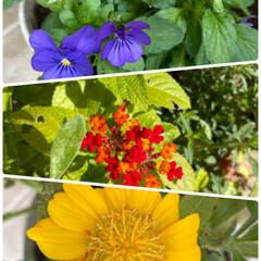 うれしい/赤いランタナは冬越ししてやっと咲いた/ガーデニング/自宅/お花たち/今日 今日のお花たち☆  自宅のお花たちです♪…
