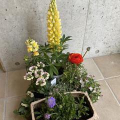 ビオラ78円!!!/白いおじさんも連れて来た/ラナンキュラス198円!!/春のお花たちをたくさん仕入れた/プリムラを添えて/お正月用の植物を仕立て直した/... 今日のお花たち☆  お正月用の植物の仕立…(2枚目)
