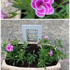 ビオラとネメシア/実家/カリブラコア/久々に寄せ植え/植物/朝から/... 朝から寄せ植え☆  久々に寄せ植え♪ カ…