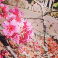 散歩/桜/風景/小さい春 カンヒザクラ。 春がやってきました‼︎ …