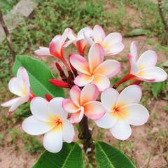 フラワー/プルメリア 昨年植えたプルメリアが花を咲かせました‼…