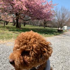 犬のいる暮らし/トイプードル/さくら/散歩/LIMIAおでかけ部/ペット/... おはようございます♡ೄ̥̽︎ リオと桜🌸…