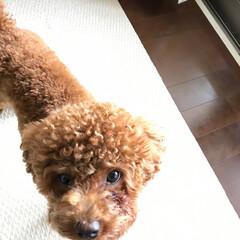 犬のいる生活/トイプードル/犬のいる暮らし/ペット/ペット仲間募集/犬/... おはようございます*:.*.:*: 一昨…