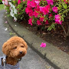 トイプードル/犬のいる暮らし/トイプー レッド/お散歩/公園/フォロー大歓迎/... 今の季節つつじが綺麗ですよね🌺 お花との…