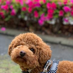 お散歩/公園/トイプー レッド/犬のいる暮らし/トイプードル/LIMIAペット同好会/... こんにちは! GW真っ只中ですね! …あ…