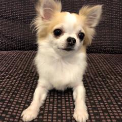 愛犬/チワワのヴェルちゃん/ロンチー/ロングコートチワワ/ちわわ/チワワ/...   ✧ᴴᴱᴸᴸᴼ✧  久しぶりの投稿です…