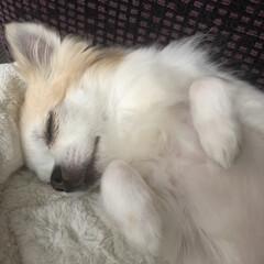 寝顔/癒し/愛犬/ちわわ/チワワ  こんばんは✩.*˚  降り続いていた雨…(2枚目)