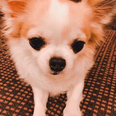 ソファー/可愛い/チワワ/ペット/犬/家具 ヴェルです💕 大好きなソファーで❤️