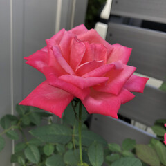 花/百日草/千日紅/ばら/薔薇/バラ/...  🌹✨𝓖𝓸𝓸𝓭  𝓶𝓸𝓻𝓷𝓲𝓷𝓰🌹✨  …(2枚目)