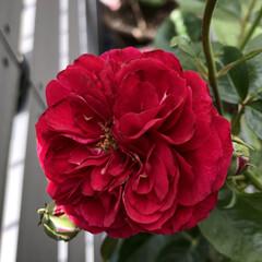 家庭菜園/イチゴ/苺/いちご/トマト/ミニトマト/...  お庭に咲くバラ🌹✨  キングローズ と…(2枚目)