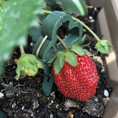 家庭菜園/イチゴ/苺/いちご/トマト/ミニトマト/...  お庭に咲くバラ🌹✨  キングローズ と…(4枚目)