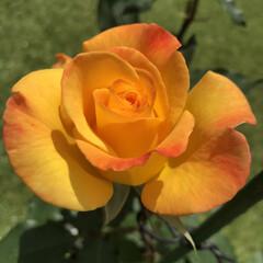 リオ・サンバ/薔薇/バラ/ガーデニング お庭のバラが咲きました❁⃘*.゚  ❁*…(1枚目)