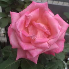 ミニトマト/トマト/薔薇/ばら/バラ/家庭菜園/...  нёllо❁︎  お庭に咲くバラ🌹✨ …(2枚目)
