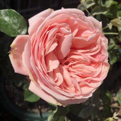 アフロディーテ/バラ/薔薇/ベランダ/DIY/暮らし/... 昨年植えた薔薇𓂃𓈒🥀  ✽.。.:*・゚…(1枚目)