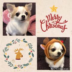 クリスマスがやってきた/チワワ/2018/フォロー大歓迎/ペット/ペット仲間募集/...  ~ΜᎧrRγ сняᎥᎦτмᏜs*~ …