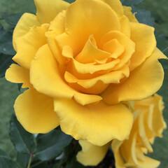 癒し/お庭/ヘンリーフォンダ/リオサンバ/ガーデニング/薔薇/...  こんばんは✩.*˚  今日は、月に一度…(4枚目)