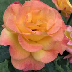 癒し/お庭/ヘンリーフォンダ/リオサンバ/ガーデニング/薔薇/...  こんばんは✩.*˚  今日は、月に一度…(3枚目)