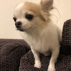 ペット/愛犬/ロングコートチワワ/チワワ/ヴェル/ソファー/...  こんばんは•*¨*•.¸¸☆*・゚  …