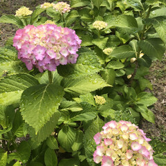 ピーマン/ナス/家庭菜園/花/お花/紫陽花   ♥·♡  ᵍ ᵒ ᵒ ᵈ  ᵐ ᵒ …