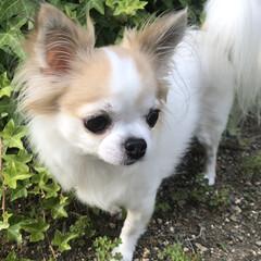 散歩/愛犬/犬/ロングコートチワワ/チワワ  こんばんは✩✰꙳‧✧̣̇‧⋆✩⡱  …