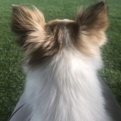 癒し/ちわわ/チワワ/ペット/愛犬/ディープボルドー/...  нёιιο¨̮॰*˙.  ディープ・ボ…(3枚目)
