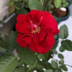 花/百日草/千日紅/ばら/薔薇/バラ/...  🌹✨𝓖𝓸𝓸𝓭  𝓶𝓸𝓻𝓷𝓲𝓷𝓰🌹✨  …(3枚目)