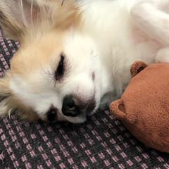癒し/愛犬/ちわわ大好き/チワワ部/チワワのヴェルちゃん/ちわわ/...  おはようございます🔆🔅  暑いですね💦…(4枚目)