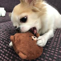 癒し/愛犬/ちわわ大好き/チワワ部/チワワのヴェルちゃん/ちわわ/...  おはようございます🔆🔅  暑いですね💦…(2枚目)