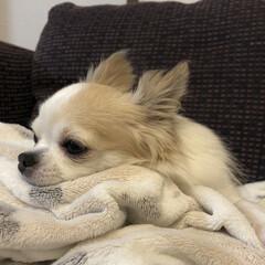 ちわわ/チワワ部/チワワ大好き/チワワ/ペット/愛犬/...  こんばんは☆。.:*・゜  先日、シャ…(3枚目)