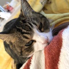 猫好き集まれ/猫年/にゃんこ同好会 甘えたい気分なの おかしゃんの腹布団と腕…