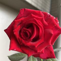 バラ/ベルベットフレグランス/マルク・シャガール 昨日に引き続き、育てているバラの投稿です…