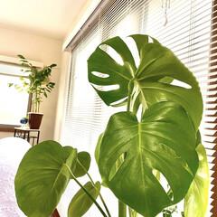 モンステラ/観葉植物/サンキャッチャー/テレワーク/在宅勤務 今日は在宅勤務です…… 先日の在宅勤務の…