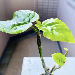 復活/ウンベラータ/観葉植物 今年の冬真っ只中に、我が家に来てくれたウ…