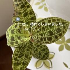 どうしよう/枯れる/観葉植物/ジュエルオーキッド ジュエルオーキッド……🌿🌿🌿 ごめんねぇ…