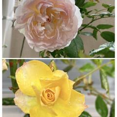 ボレロ/琥珀/バラ 先日投稿した咲き始めのボレロが、立派にな…(1枚目)