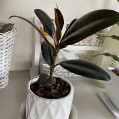 ゴムの木/観葉植物/ダイソー 昨年秋に、ダイソーでゴムの木を購入しまし…